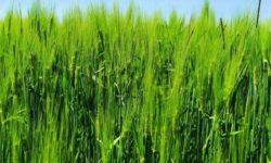 Zelený jačmeň: 11 účinkov na naše zdravie