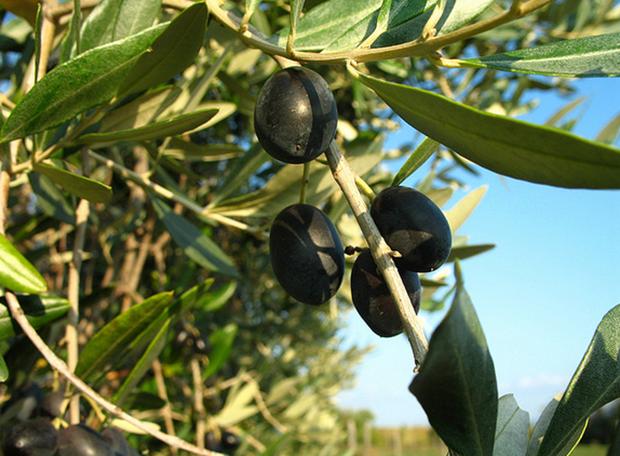 Olivy sú vyborné na chudnutie