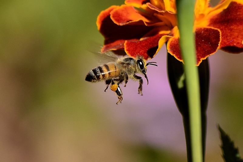 Vďaka rozšíreniu včelárstva na Slovensku nie je problém zakúpiť kvalitný včelí med