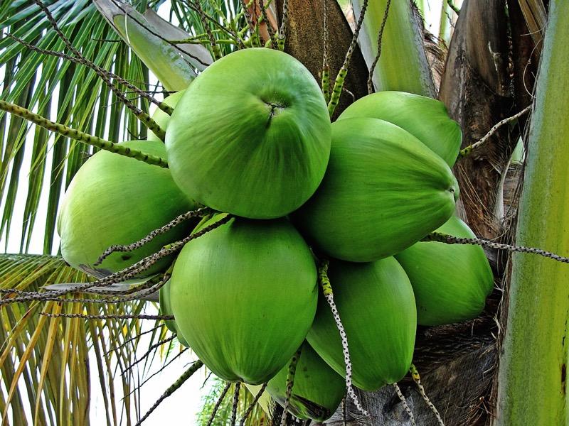 Plne zdravotné benefity má panenský kokosový olej, ktorý sa spracováva z čerstvo nazbieraných kokosov.
