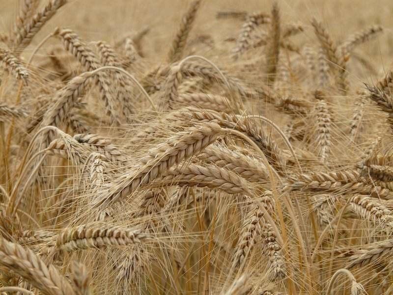 Pšenica - Výživovo.sk