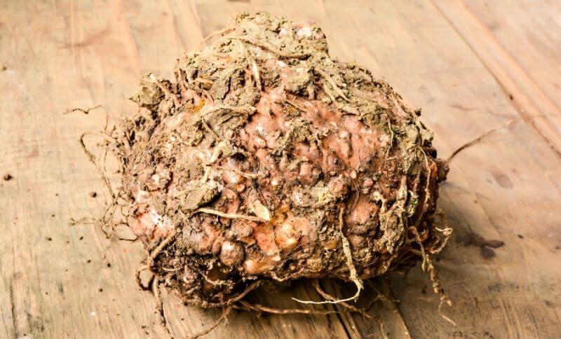Koreň rastliny konjak, z ktorého sa vyrábajú konjakové cestoviny.
