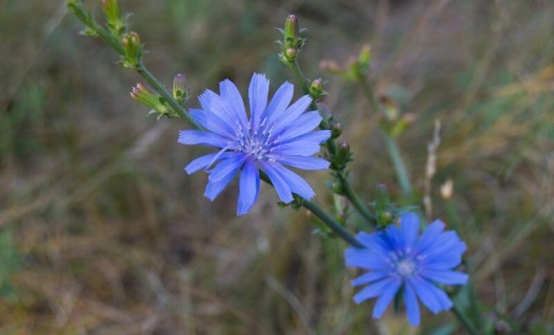 Čakanka obyčajná je typická výraznými modrými kvetmi